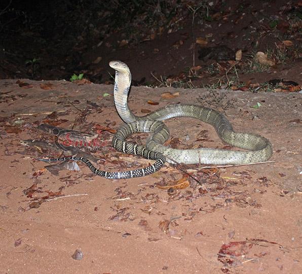 King cobra bite symptoms