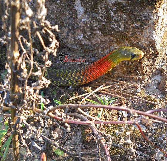 Red-necked keelback snake