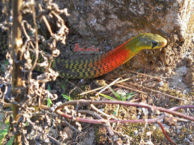 Red-necked keelback snake